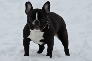 Adorable French Bulldog blog